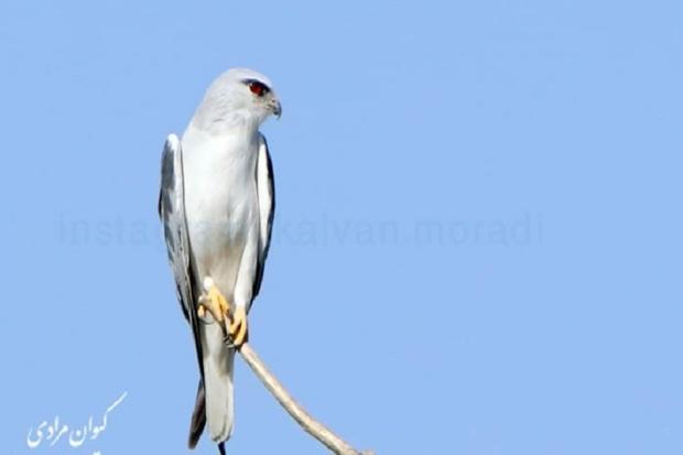 2 گونه پرنده کورکوربال سیاه و کوکوی خالدار در مریوان مشاهده شد