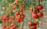 محصولات کشاورزی که می توانید در خانه بکارید و برداشت کنید+ نکات کاشت و برداشت