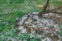 تگرگ به مزارع جوین  خسارت زد