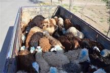 169 راس دام فاقد مجوز حمل در شهرستان البرز کشف شد
