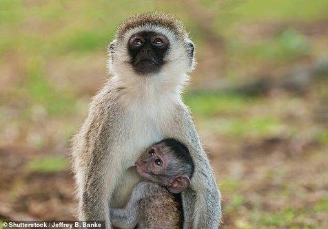 میمونها یکدیگر را از حضور پهپادها آگاه میکنند