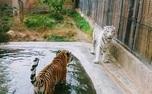 ببر سفید باغ وحش ارم چطور کشته شد؟