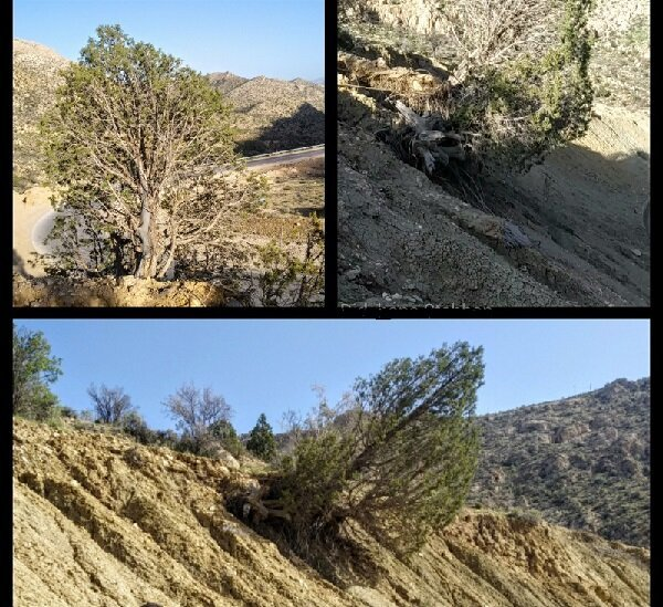 اجرای طرح ساماندهی درختان کهنسال جنگلی استهبان