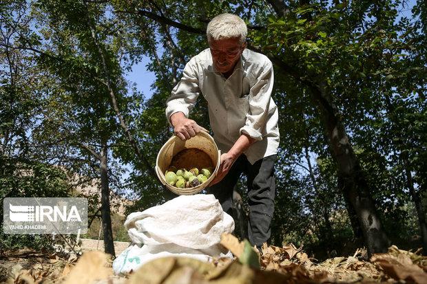 پیشبینی برداشت بیش از ۵۴ هزار تن گردو از باغات همدان