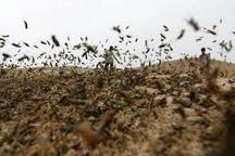 انجام عملیات مبارزه با ملخ صحرایی در هشت استان جنوبی کشور