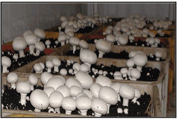 ۳۰ واحد صنعتی تولید قارچ در چهارمحال و بختیاری فعالیت می کنند