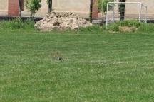 پرنده ای که زمین چمن دانشگاه آزاد میاندوآب را به تعطیلی کشاند
