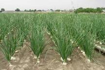 کشت « نشایی» شیوه ای مناسب برای کشاورزی مناطق کم آب
