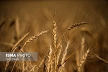 ۸۵ مرکز گندم مازاد بر نیاز کشاورزان استان را خریداری میکنند