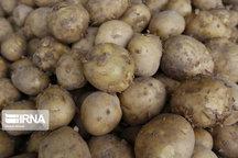 بیش از ۵۰۰ هزار تن سیبزمینی در اردبیل برداشت میشود