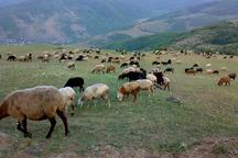 مراتع مازندران با 40 درصد مازاد دام مواجه است
