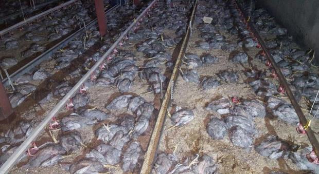 14 هزار قطعه جوجه در بیرجند تلف شدند
