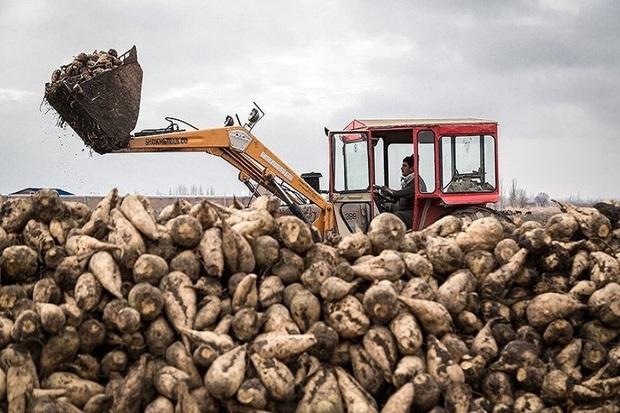 بیش از 200 هزار تُن چغندرقند در بوکان برداشت می شود