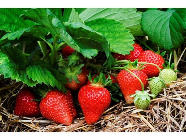 پیش بینی تولید 10 هزار تنی توت فرنگی در جویبار