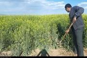 کلزاکاران زنجانی تا پایان مهر محصول خود را بیمه کنند