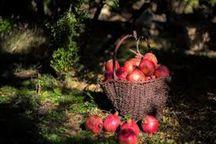 ۲ هزار تن انار در خداآفرین تولید شد