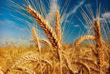 گندم مورد نیاز 2 سال در سیلوها ذخیره شده است