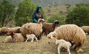 تولید سالانه 16000 تن گوشت قرمز توسط عشایر آذربایجان غربی