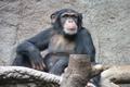 شامپانزه هم ماننده انسان تا آخر عمر از یتیم بودن رنج میکشد!