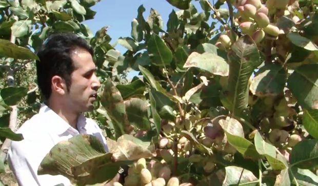 یامچی، قطب تولید پسته آذربایجانشرقی است