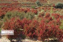کمتر از ۲ درصد زرشک خراسان جنوبی صادر میشود